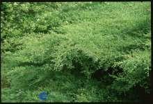 Blyantstræ Grey Owl - Juniperus virginiana Grey Owl