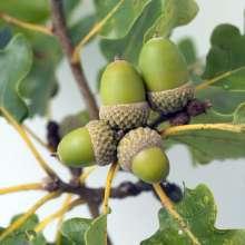 Hus og Have > Have > Alletræer > Egetræer > Sumpeg priser, Sumpeg – Quercus palustris Green Dwarf