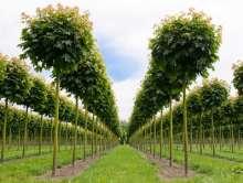 Kugleløn - Kugleahorn - Acer platanoides Globosum