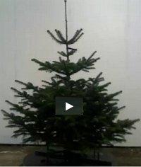 Juletræ 150-175 cm Nordmannsgran - Abies nordmanniana 150-175...