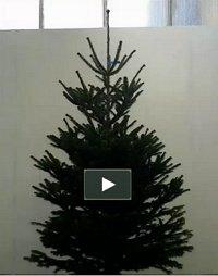 Juletræ 175-200 cm. Nordmannsgran - Abies nordmanniana 175-200...