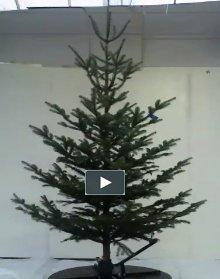Juletræ 250-300 cm. Nordmannsgran - Abies nordmanniana 250-300...