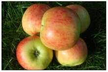 Æble Nanna - Malus x Nanna