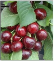 selvbestøvende frugttræer