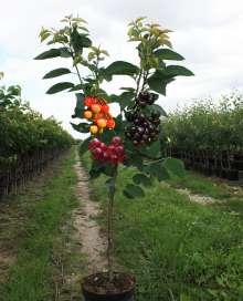 Image of   Familietræ Kirsebær med 3 sorter - Familietræ Kirsebær med 3...