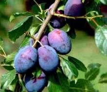 Blomme tophit - Prunus domestica `Tophit`