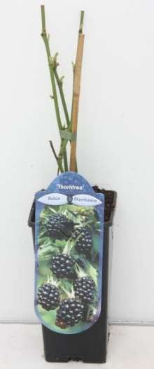 Brombær Thornfree - Rubus fruticosus Thornfree