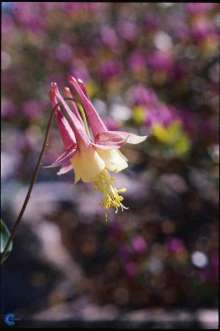 Image of   Akeleje Little Lanterns - Aquilegia canadensis Little...