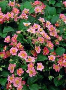 Prydjordbær Frel (Pink Panda) - Fragaria hybrid Frel (Pink...