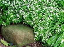 Skovmærke - Galium odoratum