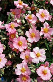 Soløje - Helianthemum hybrid Lawrenzons Pink