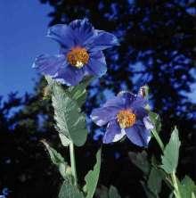 Valmuesøster - Meconopsis betonicifolia