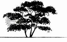 Bærmispel til hæk - Amelanchier lamarckii