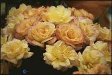 Image of   Storblomstrende Rose Bellevue - Rosa x Bellevue