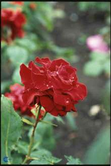 Image of   Storblomstrende Rose Courage - Rosa x Courage