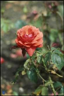 Image of   Storblomstrende Rose Duftwolke - Rosa x Duftwolke