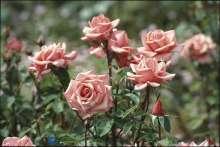 Image of   Storblomstrende Rose Louisiana - Rosa x Louisiana
