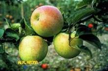 Æble 'Aroma' - Malus x 'Aroma'