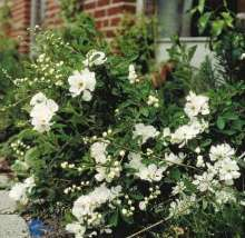 Image of   Perlebusk The Bride - Exochorda marcrantha The Bride