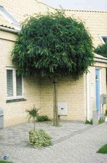 Kugleakacie – Robinia pseudoacacia Umbraculifera