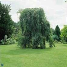 Billede af Sørgebirk - Betula pendula Youngii