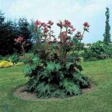 Prydrabarber - Rheum palmatum var. tanguticum
