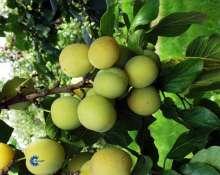 Billede af Blomme Quillins Reine Claude - Prunus domestica Quillins...