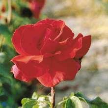 Image of   Storblomstrende Rose Erotika - Rosa x Erotika