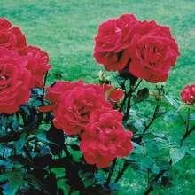Image of   Storblomstrende Rose Hanne ® - Rosa x Hanne ®