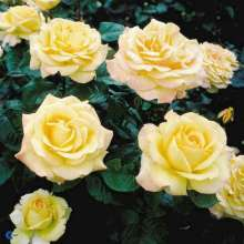 Image of   Storblomstrende Rose Peer Gynt - Rosa x Peer Gynt