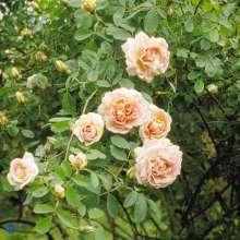 Buskrose Frühlingsduft - Rosa pimpinellifolia Frühlingsduft