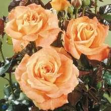 Image of   Storblomstrende Rose Flora Danica - Rosa x Flora Danica