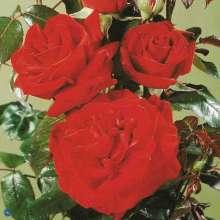 Image of   Storblomstrende Rose Ingrid Bergman ® - Rosa x Ingrid...