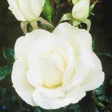 Image of   Storblomstrende Rose Karen Blixen - Rosa x Karen Blixen