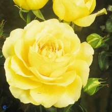Image of   Storblomstrende Rose Tivoli 150 - Rosa x Tivoli 150