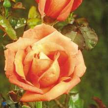Image of   Storblomstrende Rose Troika - Rosa x Troika
