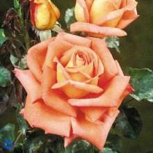 Image of   Storblomstrende Rose Victor Borge ® - Rosa x Victor Borge ®
