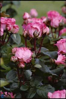 Image of   Storblomstrende Rose Pink Panther - Rosa x Pink Panther