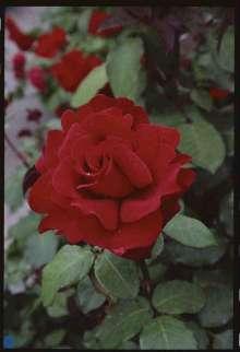 Image of   Storblomstrende Rose Leonora Christine - Rosa x Leonora...