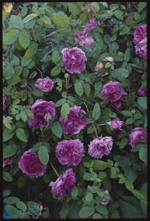 Image of   Gammeldags Rose Tour de Malakoff - Rosa centifolia Tour de...
