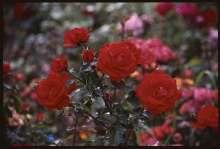 Image of   Buskrose Brillant - Rosa x Brillant