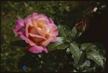 Image of   Storblomstrende Rose Chicago Peace - Rosa x Chicago Peace