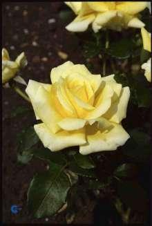Image of   Storblomstrende Rose Kaj Munk - Rosa x Kaj Munk