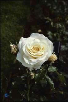 Image of   Storblomstrende Rose José Carreras - Rosa x José Carreras