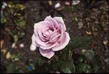 Billede af Storblomstrende Rose Blue Moon - Rosa x Blue Moon