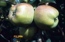 Æble Filippa - Malus x Filippa