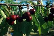 Billede af Sød Kirsebær Sam - Prunus x Sam