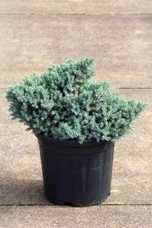 Lavtvoksende Enebær Blue Star - Juniperus squamata Blue Star
