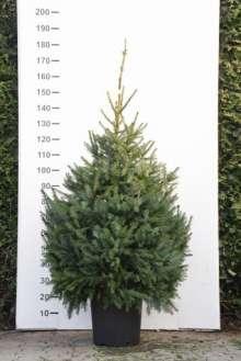 Serbisk Gran - Picea omorika