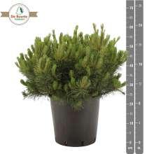 Flerstammet Bjergfyr - Pinus mugo var. Mughus